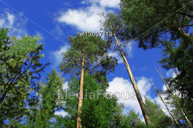 Shining Sun Which Is Making The Way Through Tops Of Pines Stock Photo