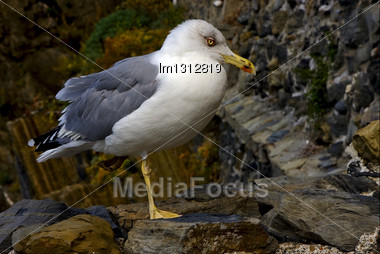 Side Of Sea Gull Rest In The Rock Of Riomaggiore Italy Stock Photo