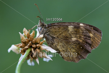 Side Of Wild Brown Butterfly On A White Flower In The Bush Stock Photo