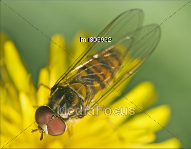 Side Of Wild Fly Diptera Syrphidae Volucella Zonaria Syrphus Ribesii Eristalis On A White Yellow Flower Stock Photo