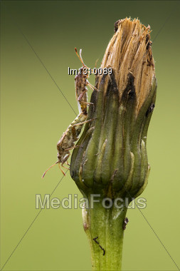 Side Of Wild Fly Hemiptera Nezara Virdula Heteroptera Pentatomidae Palomena Prasina On A Flower And Reproduction Stock Photo