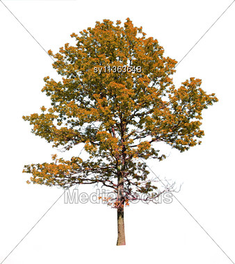 Silhouette Autumn Oak Stock Photo