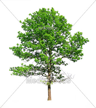 Silhouette Green Oak Stock Photo