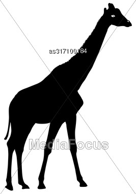 Silhouette High African Giraffe On A White Background Stock Photo