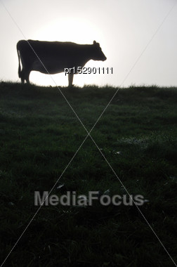 Silhouette Of Jersey Cow And Pasture, West Coast, New Zealand Stock Photo