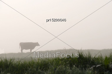 Silhouette Of Jersey Cow On Pasture, West Coast, New Zealand Stock Photo