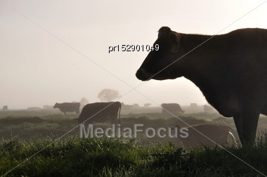 Silhouette Of Jersey Cows On Pasture, West Coast, New Zealand Stock Photo