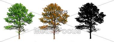 Silhouette Oak Stock Photo