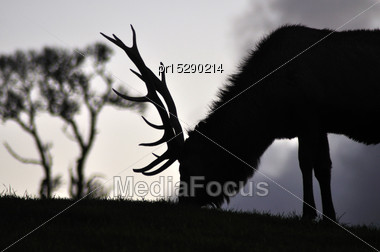 Silhouette Of Red Deer Stag, West Coast, South Island, New Zealand Stock Photo