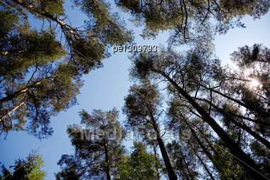 Silhouettes Of Pines On A Background Of The Sky Stock Photo