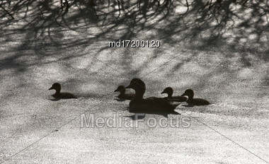 Sillouette Ducks In A Pond In Saskatchewan Canada Stock Photo