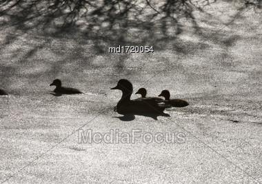 Sillouette Ducks In A Pond In Saskatchewan Canada Stock Photo