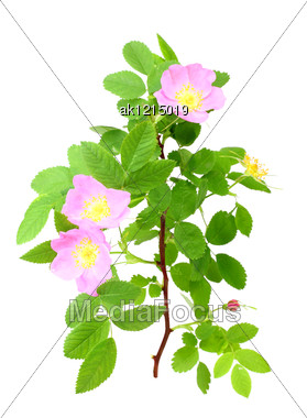 Single Branch Of Dog-rose With Green Leafs And Pink Flowers Close-up Studio Photography Stock Photo