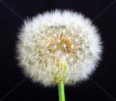 Single Dandelion On Black Background. Close-up. Studio Photography Stock Photo