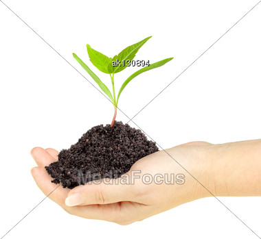 Single Fresh Green Plant With Dirt In A Hand. Isolated On White Background. Close-up. Studio Photography Stock Photo