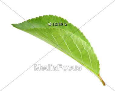 Single Green Leaf Of Apple-tree Close-up Studio Photography Stock Photo