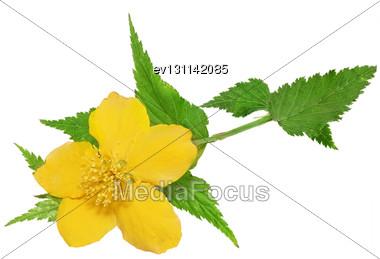 Single Marsh Marigold Yellow Wildflowers Isolated Stock Photo