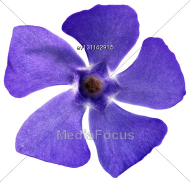 Single Violet Flower.Closeup On White Background. Isolated Stock Photo