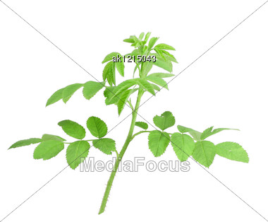 Single Young Branch Of Dog-rose With Green Leafs Close-up Studio Photography Stock Photo