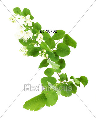Single Young Green Branch With Leaf And Flowers. Isolated On White Background. Close-up. Studio Photography Stock Photo