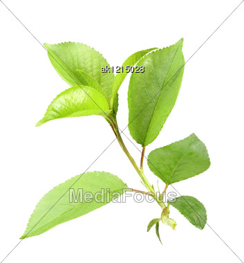Single Young Green Sprout Of Apple-tree With Leaf Close-up Studio Photography Stock Photo