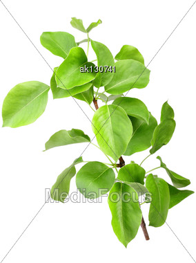 Single Young Sprout Of Apple-tree With Green Leafs. Isolated On White Background. Close-up. Studio Photography Stock Photo