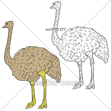 Sketch Big Ostrich Standing On A White Background. Vector Illustration Stock Photo