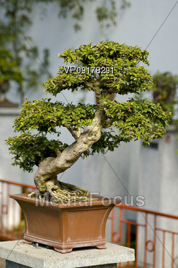 small bonai tree in a square pot Stock Photo