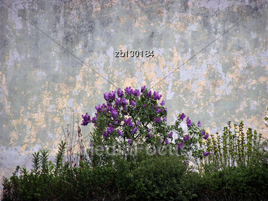 Small Bush Of Pink Hyacinth Against Old Gray Wall. Stock Photo