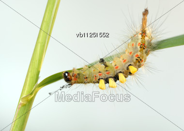 Small Caterpillar With Tufts Of Hairs On The Blade Stock Photo