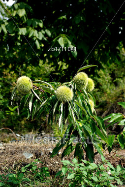 Small Chestnut Tree Sapling With Three Chestnut Tree Fruits At Sunny Summer Day Stock Photo