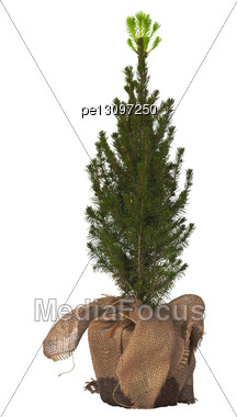 Small Decorative Fir-tree In A Pot With Green Shoots Stock Photo
