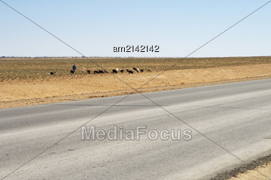 Small Herd Lamb Grazing Near The Road Stock Photo