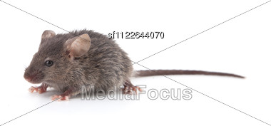Small Mouse Stock Photo
