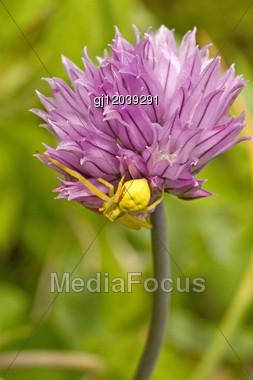 Small Yellow Spider Hiding On Purple Flower Stock Photo