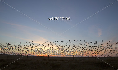 Snow Geese At Sunset In Flight Canada Stock Photo