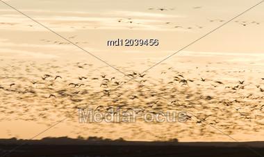 Snow Geese In Flight At Sunset Saskatchewan Canada Blurrred Stock Photo