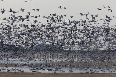 Snow Geese Migration In Flight Saskatchewan Canada Stock Photo