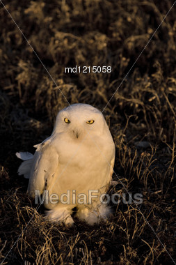 Snowy Owl At Sunset Sitting In Prairie Stock Photo