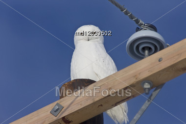Snowy Owl Canada Blue Sky Beautiful Bird Saskatchewan Stock Photo