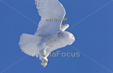 Snowy Owl Canada Blue Sky Beautiful Bird Saskatchewan In Flight Stock Photo