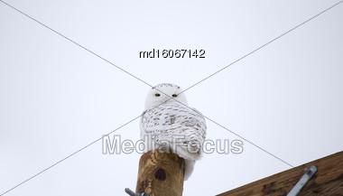 Snowy Owl On Fence Post In Winter Canada Stock Photo