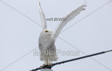 Snowy Owl In Flight Winter Saskatchewan Canada Stock Photo