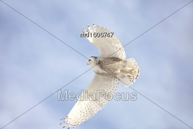 Snowy Owl In Flight In Canada Winter Stock Photo