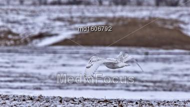Snowy Owl In Flight In Canada Winter Stock Photo
