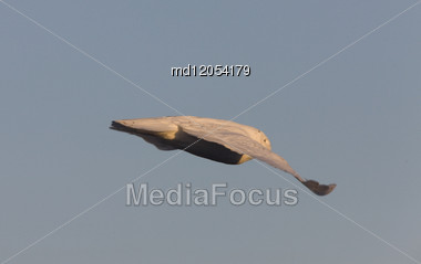 Snowy Owl In Flight In Saskatchewan Canada Stock Photo