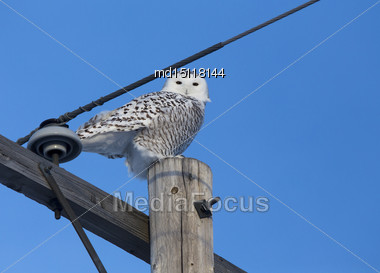 Snowy Owl In Saskatchewan Canada In Winter Stock Photo