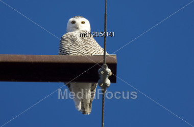 Snowy Owl Perched In Saskatchewan Canada In Winter Stock Photo