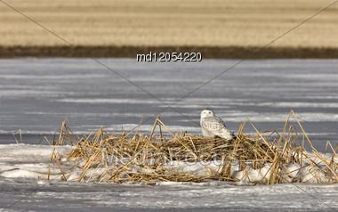 Snowy Owl Perched In Saskatchewan Canada In Winter Stock Photo
