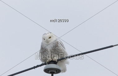 Snowy Owl Perched Winter Saskatchewan Canada Cold Stock Photo